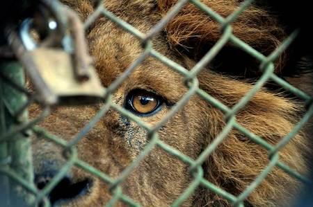 Zoológicos Cárceles Para Animales Animanaturalis